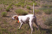 Dixie is a littermate to Izzie and Cammie.  She's offered for sale by Great Basin Kennel