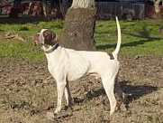 River Run Express, bred at Great Basin Kennel, a Chukar Futurity Winner